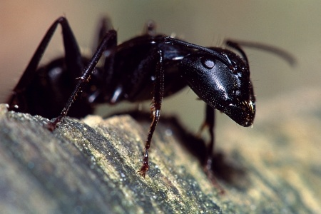 What is a carpenter ant