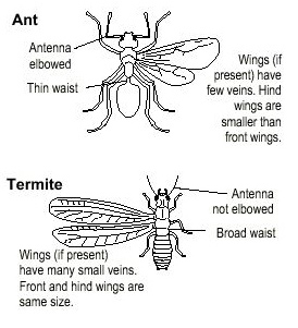 Carpenter Ants vs or Termites